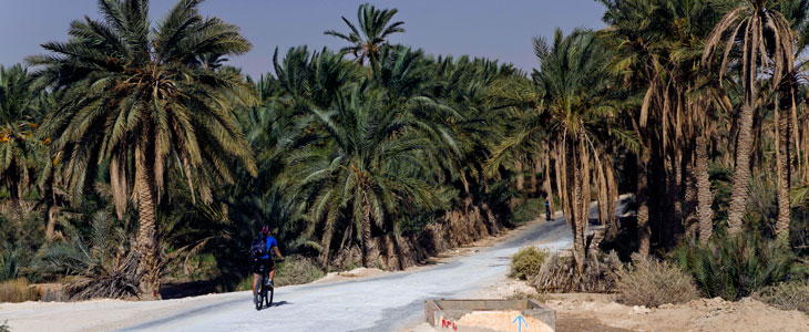 TN kolo date palms